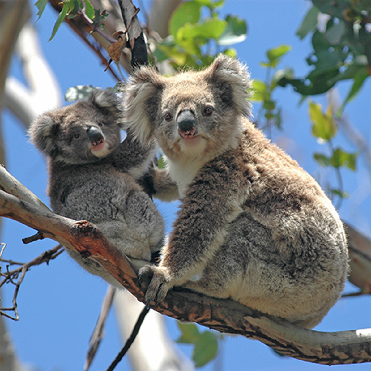 Wild Koalas in Australia